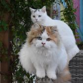 British Promise Cats TikTok