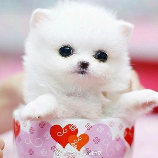 teacup puppy planet TikTok