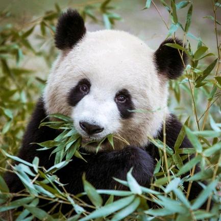 Panda TikTok