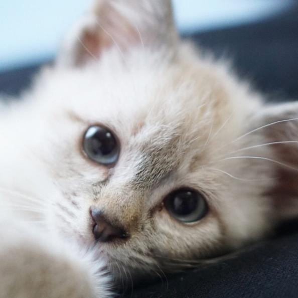 猫のデュフィとルノ TikTok