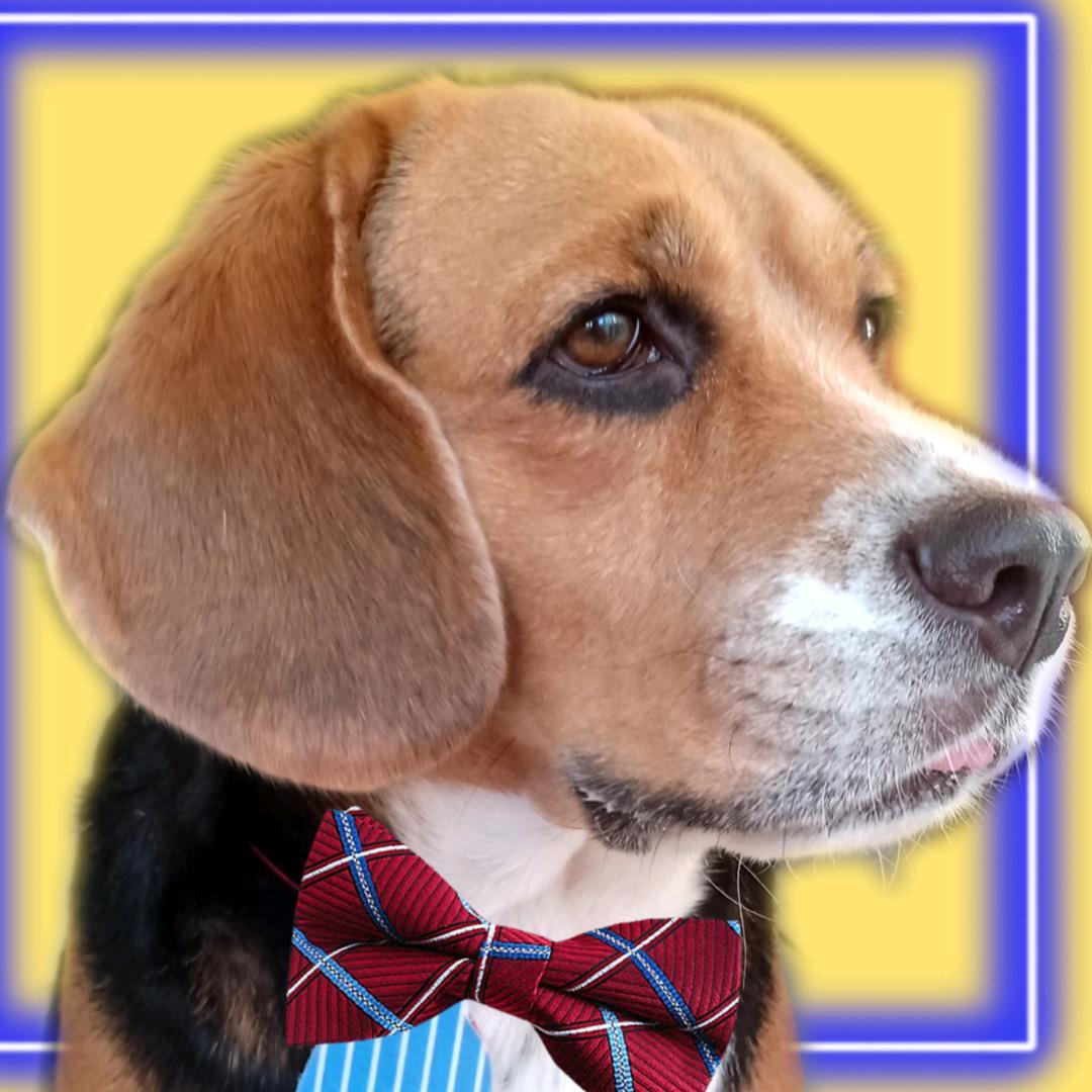 Totó o beagle TikTok